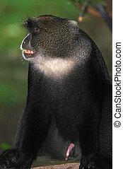 Blue Monkey - Agitated Blue Monkey bearing its teeth and...