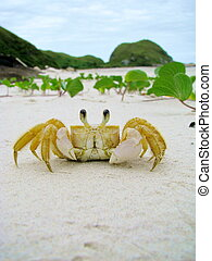 Funny crab in a sandy wild beach of Honey Island (Ilha do...