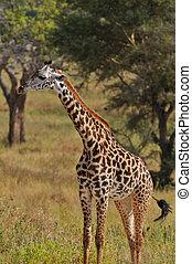 Tarangire, jirafa