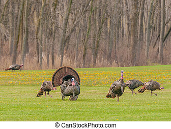 Wild Turkey Meleagris gallopavo - Strutting male wild turkey...