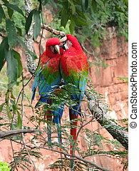 Beautiful couple of wild red macaws, seen at Buraco das...