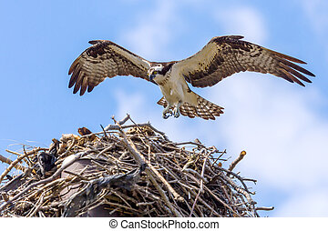 Osprey In Flight Approaching Nest