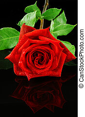 Red rose - Beautiful red rose isolated on reflective black...