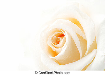 White rose - Beautiful white rose with drops of dew isolated...