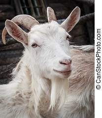 White goat - Adult white goat village with large horns Photo...