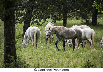 Lipizzan horses - Young Lipizzan horses, out in the open....
