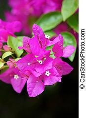 Pink of Bougainvillea flower.