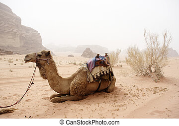 camel - Camel in the desert