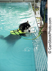 Alaskan Malamute exercise in pool