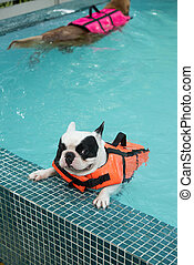 French Bull dog in pool