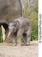 Female asian baby elephant playing