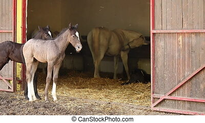 Lipizzaner foals and horses