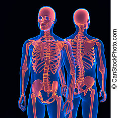 Human skeleton close up. Front and back view. Contains clipping path
