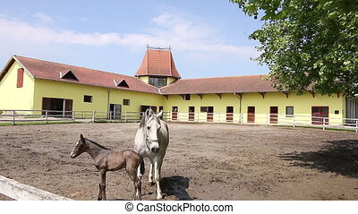 Lipizzaner horse and foal in corral