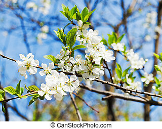 sprig of cherry blossoms in sunny spring day