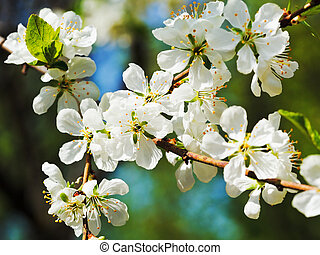 sprig of cherry blossoms close up in sunny spring day