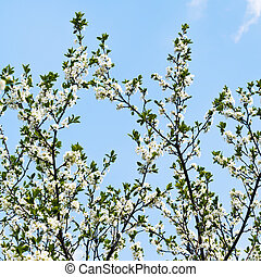 many twigs of cherry blossoms on blue sky background