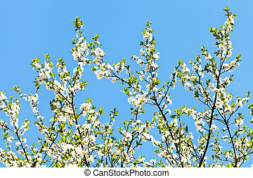 many sprigs of cherry blossoms on blue sky background