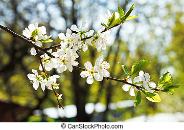branch of cherry blossoms in fruit orchard in spring