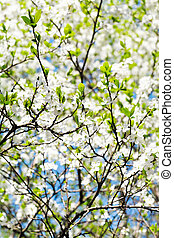 sprig and white blooming cherry tree crown - sprig of cherry...