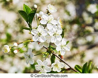 twig of blossoming cherry in spring garden - twig of white...