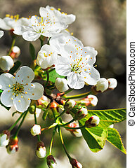 white flowers of flowering cherry close up in spring garden