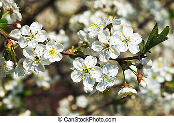 sprig of cherry blossoms in spring garden - sprig of white...
