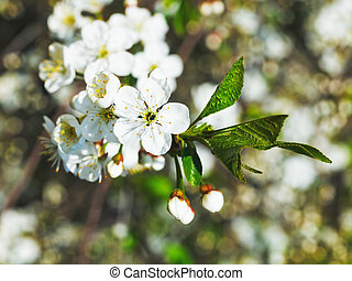 white flowers of cherry tree close up in spring