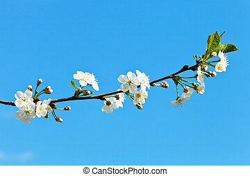 branch of cherry blossoms on blue sky background