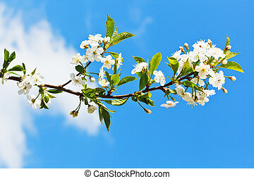 sprig of blossoming cherry on blue sky background