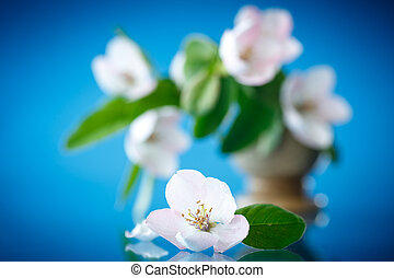 Spring flowering quince tree