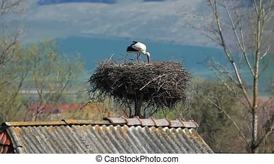 Stork on nest - White stork arranging and then sitting down...