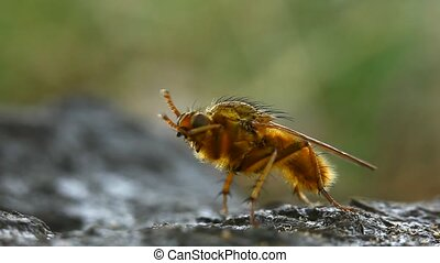 Yellow dung fly cleaning himself - Extreme macro of a yellow...