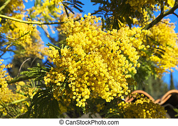 Mimosa - Blooming mimosa tree and blue sky