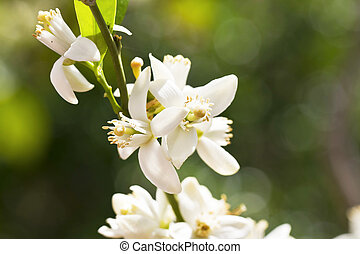 Orange blossoms in the spring