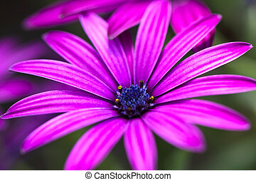 Daisy flower - Closeup of a beautiful Marguerite. Daisy...