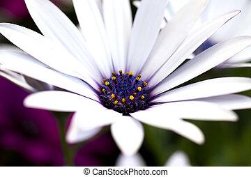 Daisy flower - Closeup of a beautiful Marguerite Daisy...
