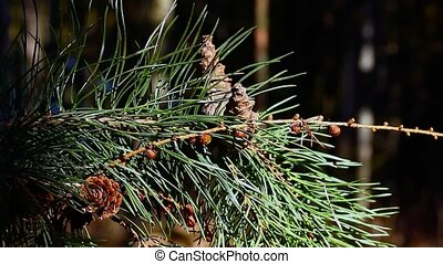Cone pine branch in backwoods