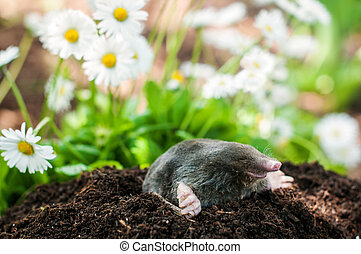 Mole in the hole - Mole on a heap of soil in a garden
