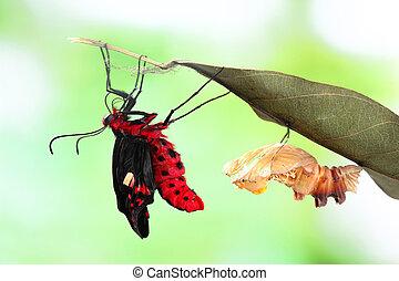papillon, changement, Formulaire, chrysalide