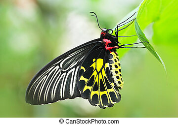 Butterfly - Close up of golden birdwing Butterfly - Troides...