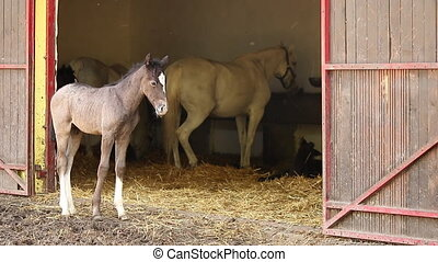 stable with Lipizzaner foal and horse