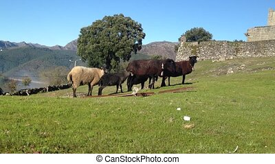Sheep on a green meadow - Grazing flock of Sheep with sound...
