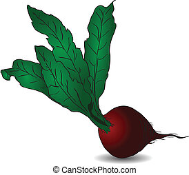 Beet - Raw red beets with green tops Vector illustration...