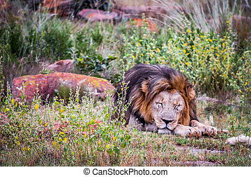 Lion sleeps tonight - Very calm king of the jungle clicked...