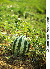 water melon at field