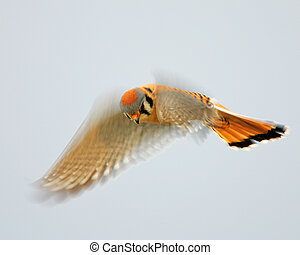 "Hovering Kestrel ""National Wildlife Magazine Winner Birds..."