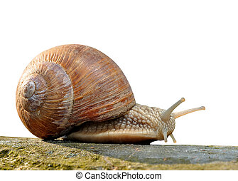 Garden snail (Helix aspersa) isolated