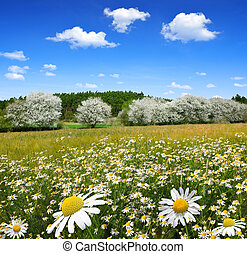 Field of marguerites in spring landscape