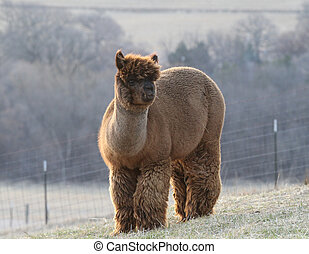 Big wooly male alpaca - Big alpaca with very thick wool